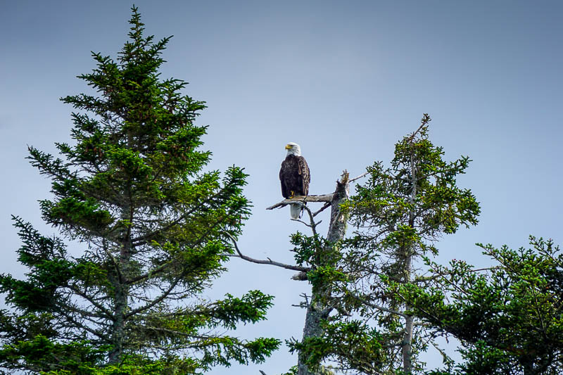 Bald eagle in Bay of Fundy