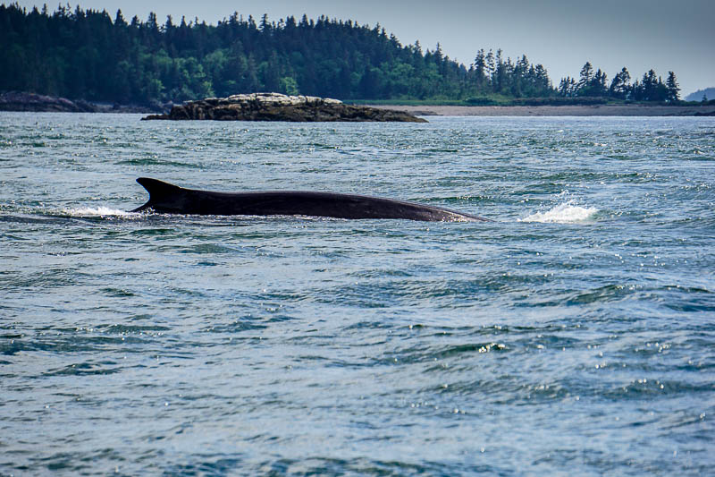 Finback whale in Bay of Fundy