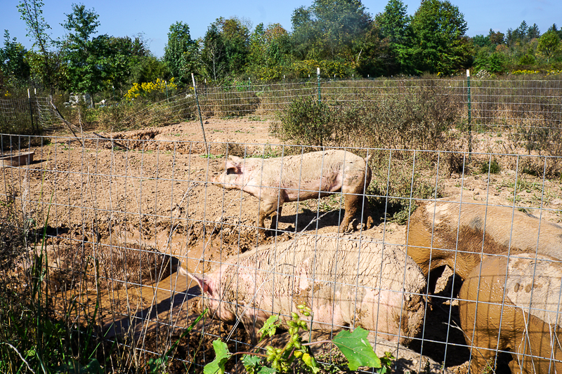 Pig farming at Rambling River Farm