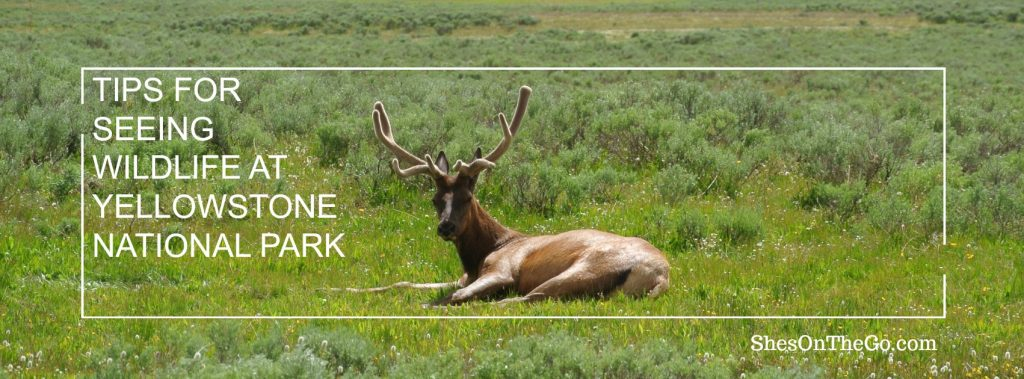 Tips for seeing Wildlife at Yellowstone National Park